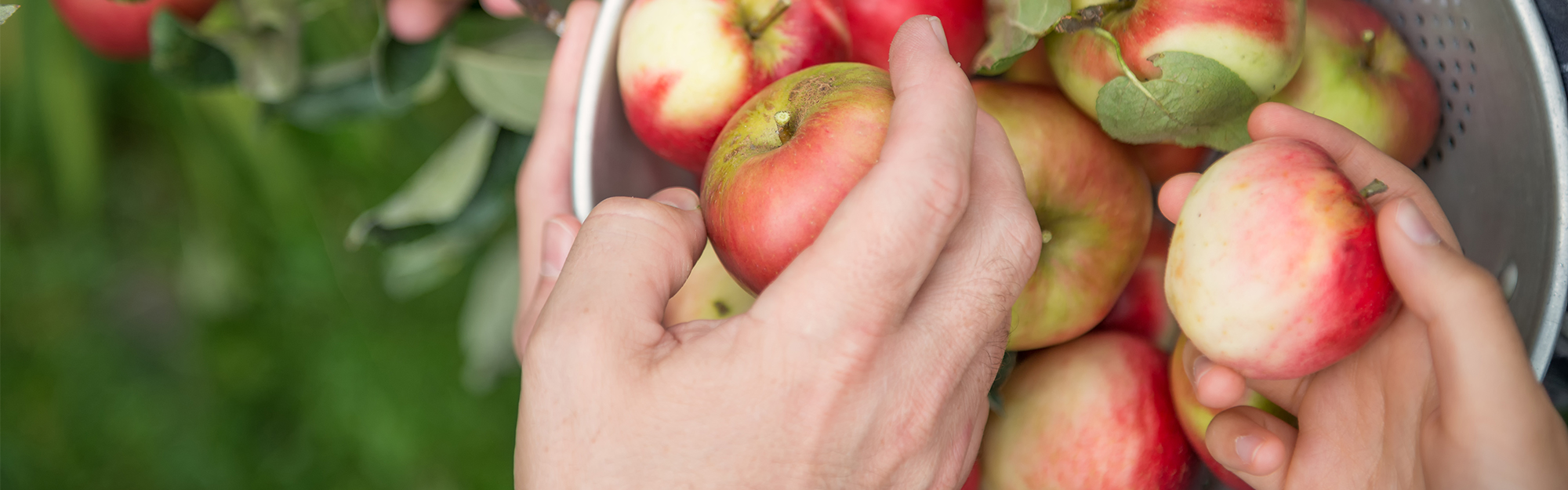 Hands picking red apples and putting them in a bucket.